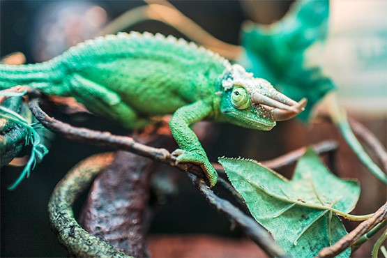 stock image of chameleon